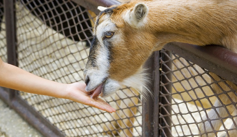 Best Food For Lactating Goats