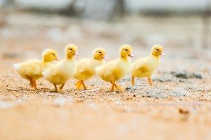 The joy of raising ducklings. A group of ducklings walking.