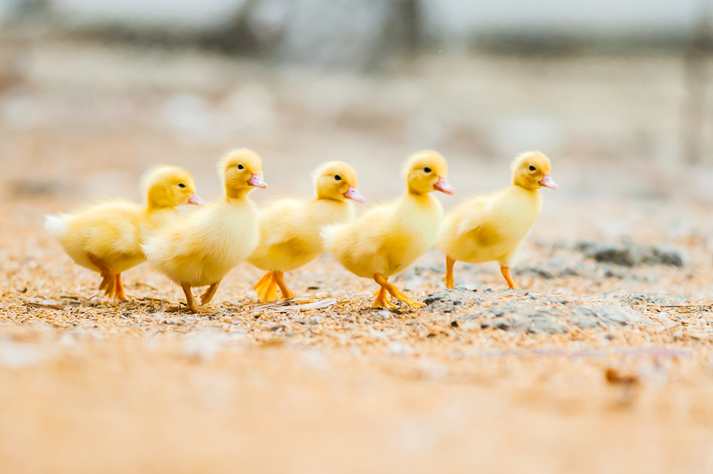 yellow baby ducks walking - photo #1