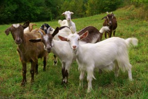 Herd of Goats standing in a field. Goat care can be fun and rewarding!