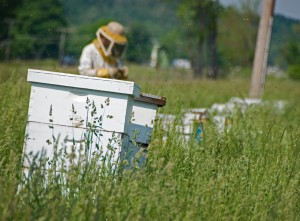 Langstroth hive in a meadow