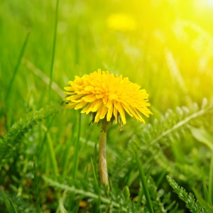 Yellow dandelions lawn weeds