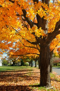 Maple Tree Identification & Mappping