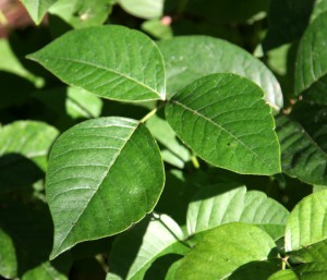 Poisonous Plants While Camping
