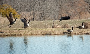 How to Make a Goose Decoys Spread