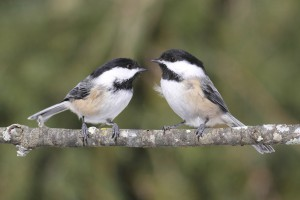 Attracting Chickadees