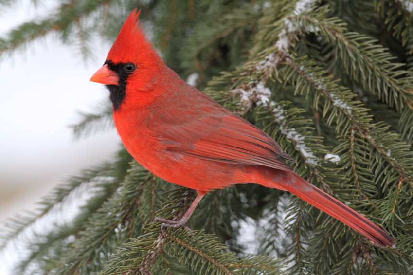 Tips for attracting cardinals blain 39 s farm fleet blog - Pictures of cardinals in snow ...