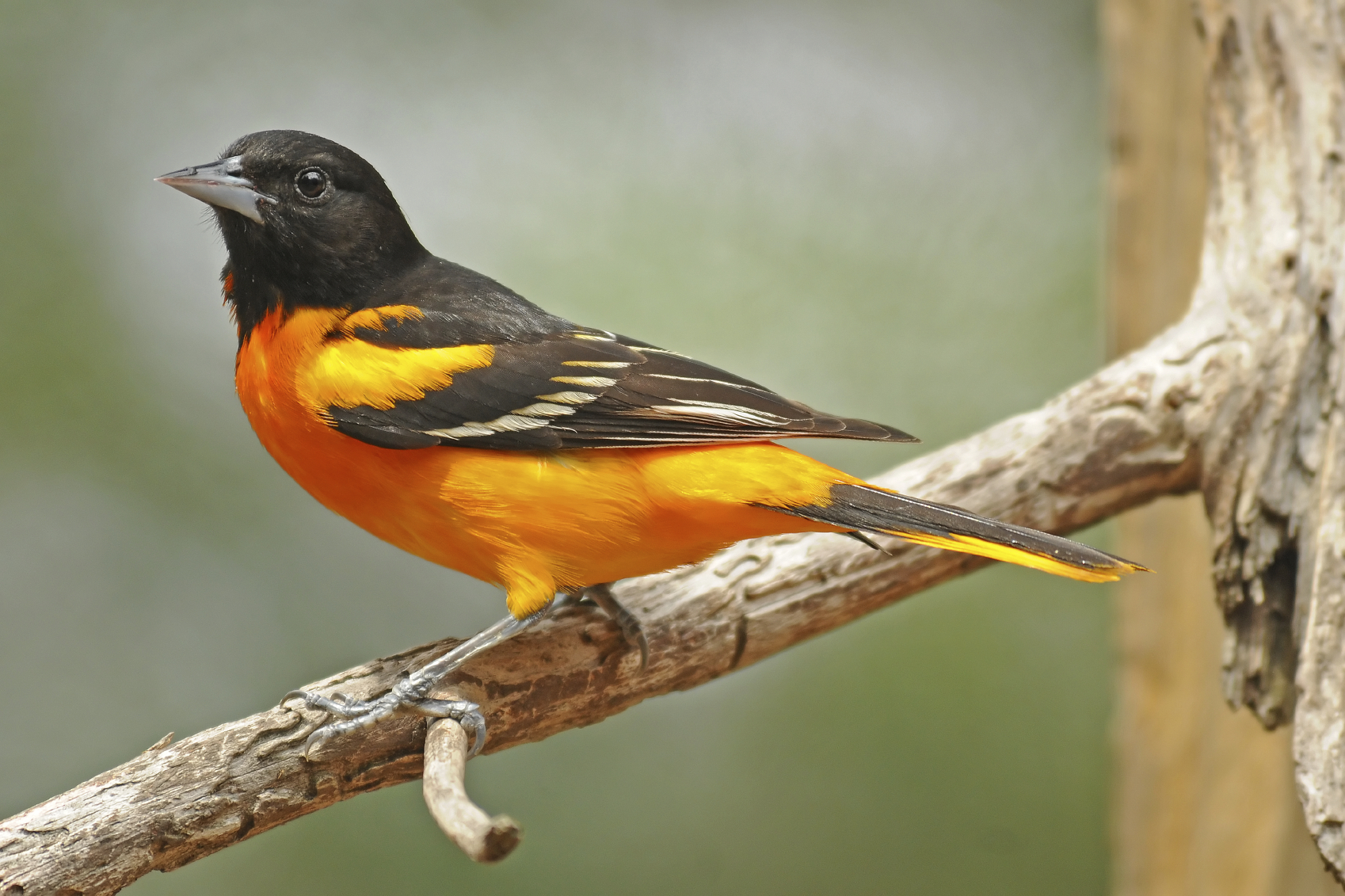 Wild Birds Unlimited | FAQs - Atrae a Orioles | Erie, PA