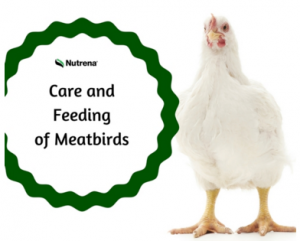 Care and Feeding of Meatbirds Nutrena