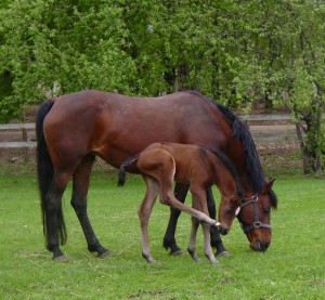 Feeding the Broodmare During Lactation