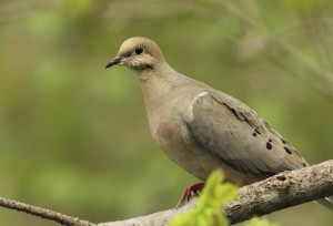Simple Ways to Attract Mourning Doves