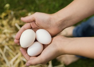 Which Chickens are Best for Egg Production?