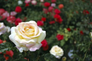 Planting and Growing Roses