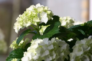 5 Tips for Hydrangea Care