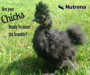 Are Your Chicks Ready to Leave the Brooder