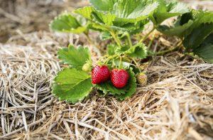 How to Start Straw Bale Gardening
