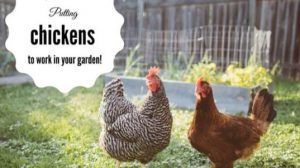 Putting chickens to work in your garden