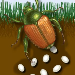 How & When to Treat Japanese Beetles & Grubs | Blain's Farm ...