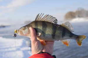 Catching Early Season Perch