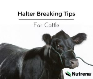 Tips for Halter Breaking Cattle