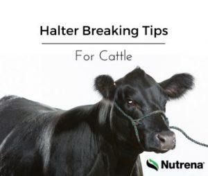 Tips for Halter Breaking Cattle