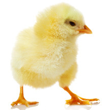 Care Tips for Baby Chicks