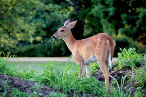 Planting Deer-Resistant Plants