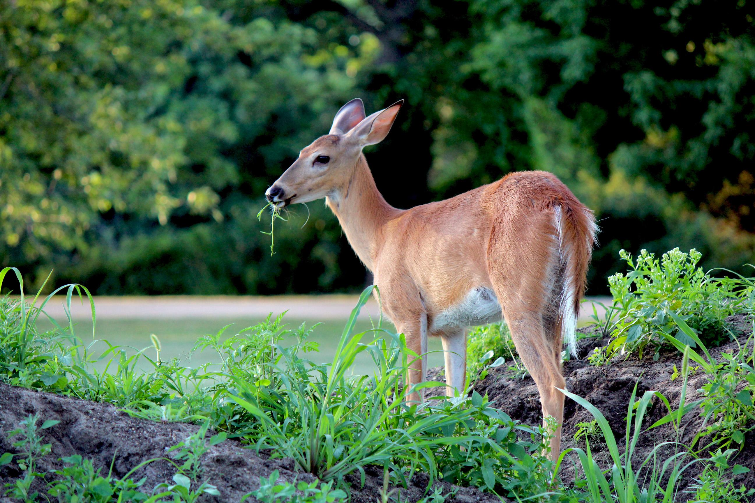 Planting Deer Resistant Plants