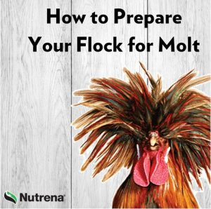 How to Prepare Your Flock for Molt
