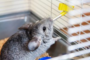 Caring for Your Pet Chinchilla