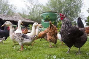 Can You House Chickens and Ducks Together?