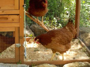Selecting the Right Bedding for Your Chickens