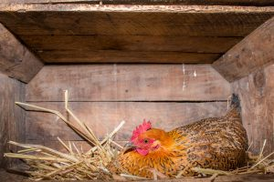 9 Reasons Hens Stop Laying Eggs