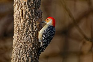 Tips for Attracting Woodpeckers